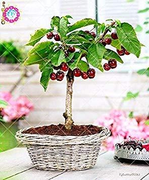 Graines Bonsai Fruit 10pcs Graines de cerisier arbres fruitiers Graines jardin Plante en pot bricolage jardin Décoration