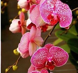10pcs/lot papillon graines d'orchidées, fleurs d'intérieur bonsaï quatre saisons, Phalaenopsis Orchidées jardin à la maison 18