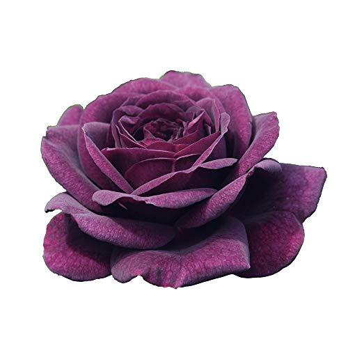 Pianta di Rosa a MAZZI BREVETTATA Purple Eden  PROFUMATA VERA in vaso 20 CM ROSE BARNI