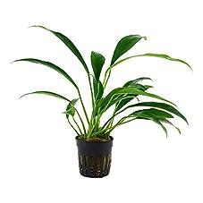 Anubias barteri var. angustifolia - Anubias barteri Hohlzahn