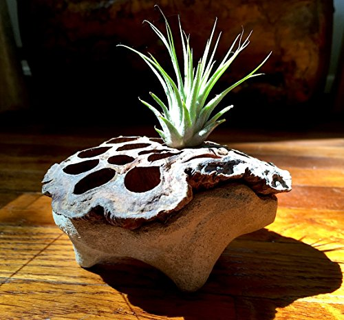 One of a Kind Handmade Concrete Lotus Bowl with Tillandsia Air Plant Terrarium