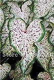GEOPONICS GRAINES: 100 Pcs Plante en pot Thaïlande Caladium Collection, Bricolage & jardin amp; Bonsai usine Balcon Plante en pot Semis: 10