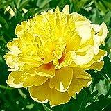 2 Piezas Bulbos De Peonía Las Flores De Raíz Desnuda De Peonía Amarilla Brillante Son Variedades Raras De Peonía Que Se Utilizan Para La Plantación De Flores De Primavera En Interiores Y Exteriores