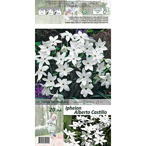 Florado 20x Garten-Frühlingsstern Blumenzwiebeln 'Alberto Castillo', Zwiebelblumen, Garten Vasen, Bienen Insekten Hummeln, Größe 5/+