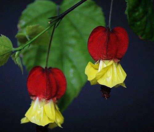 lanternes Fuchsia / Graines de fleurs / fleurs balcon intérieur salon / Begonia de Bell pot graines de fleurs 100 graines 5