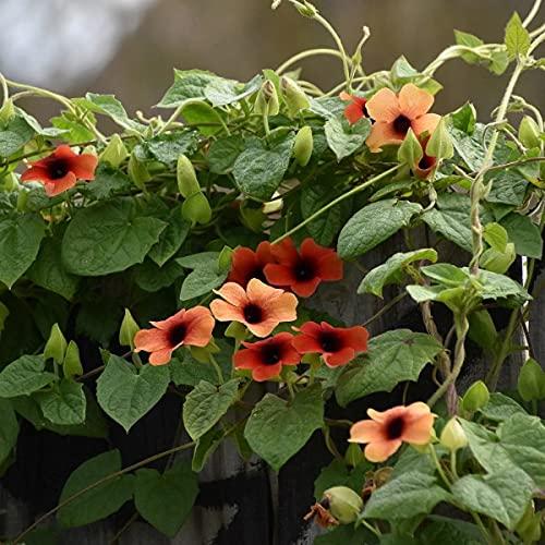 Thunbergia Alata Sunset Shades - 15 Seeds - Black Eyed Susan Vine
