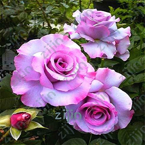 SANHOC 100pcs / Lot Blaue Rose Bonsai, schöne Streifen Rosenbusch Pflanze, DIY Hausgarten Blumendekoration: Burgundy