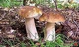 Boletus betulicola Seta blanca de abedul/Semillas de micelio esporas freza secas