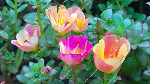 Portulaca Seed, Moss-rose Pourpier Plantes d'intérieur Fleurs doubles semences Balcon et cour Bonsai Seed Le taux bourgeonnant 95% 120 Pc 8