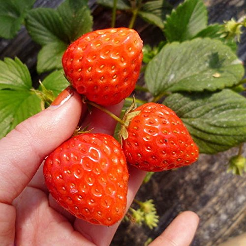 1 sac de 50 graines de fraises bio Fragaria ananassa fruits délicieux