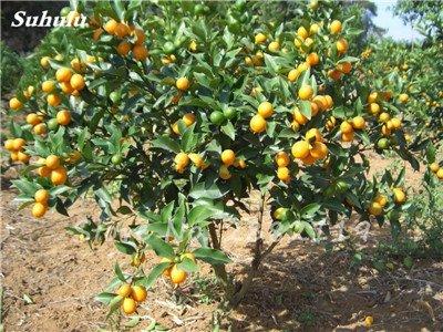 30 Pcs comestibles Graines Oranger, Doux Kumquat Fruit Mandarin Bonsaï, non-Ogm Chine Escalade Orange Tree Bonsai So delicious