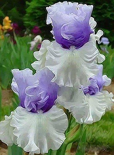 100 graines/Paquet tectorum Iris Graines rares vivaces Graines de fleurs Belle Plantes d'intérieur Fleurs semences Bonsai de jardin Pots * Jaune clair
