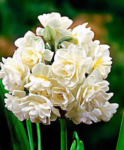 3x Narcissus ERLICHEER | Bulbes de Narcisses | Fleurs blanches | Plantes fleuries d'ete | Ø 13-15cm