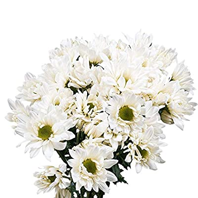 GlobalRose 72 Blooms of White Color Daisy Pom Poms 18 Stems - Fresh Flowers for Delivery from Globalrose