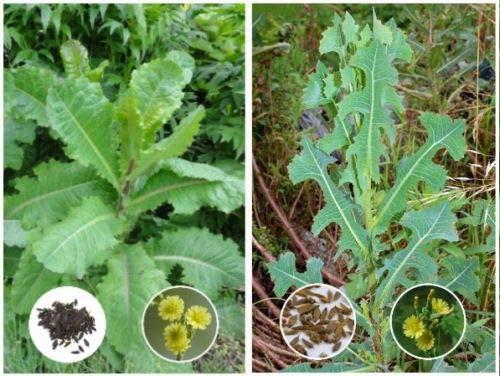 Opium Lettuce (Lactuca virosa) 25 Seed