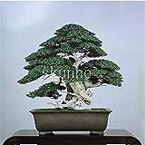 sanhoc fiori in vaso 20pcs ginepro bonsai ufficio bonsai purificare l'aria assorbire i gas nocivi (hei canzone)
