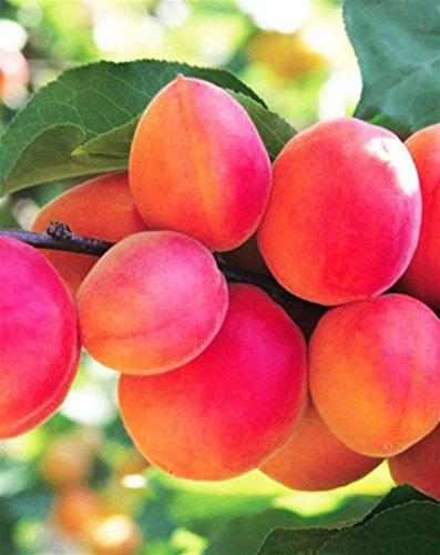 Pianta da frutto ALBERO SIMILE DI ALBICOCCO PUGLIESE- PRUNUS ARMENIACA TARDIVO LOCALE- A MATURAZIONE TARDIVA A RADICE NUDA -1 METRO pianta vera