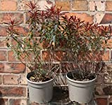 Beautifully Coloured Euphorbia Polychrome Bonfire Shrub Plant 30-40cm Tall 3 Litre Hardy Evergreen Spurge