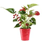 Costa Farms Blooming Anthurium Live Indoor Plant Gift, Fresh From Our Farm or Home Décor, 12 to 14-Inches Tall, Ships in Red Ceramic Planter