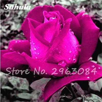 Livraison gratuite 100 pcs / sac Rose Graines, Graines de fleurs Rose, Graines Bonsai fleurs, plantes, légère odeur de croissance naturelle pour jardin 24