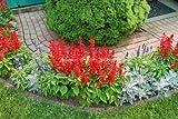 50 SALVIA SPLENDENS Blaze of Fire Seeds - Contenitore rosso