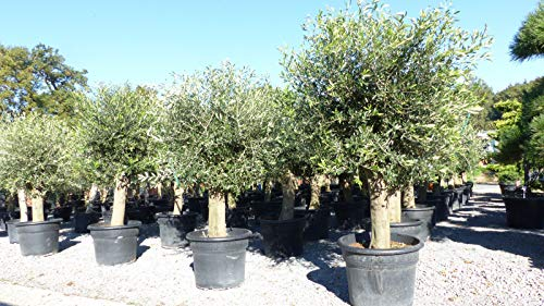 Olivenbaum 200-230 cm, 50 Jahre alt, Stammumfang 40-50 cm winterharte Olive, Olea europaea