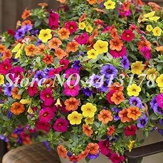 70 Pcs/Bag Imported Petunia Seeds Climbflower Multicolor Petunia A Garden Seeds, The Buddrate