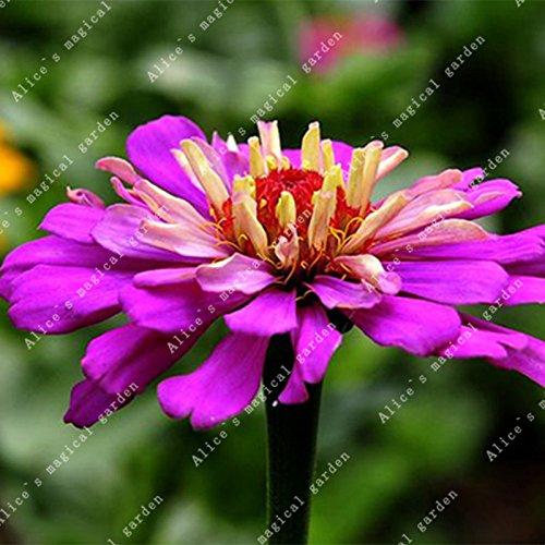 ZLKING 100 pièces/paquet chinois Zinnia elegans herbe Bonsai Graines Chrysanthème Décorés Jardin Haute variétés végétales ont un parfum 2