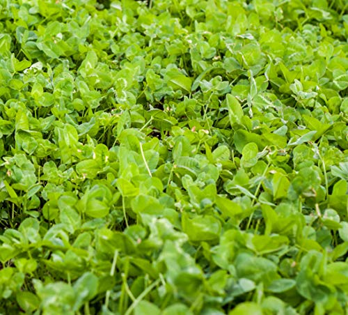 Outsidepride Clover King Seed - 5 LBS