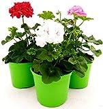GERANIO EDERA DOPPIO 'HERCULES', PELARGONIUM, 3 PIANTE VASO 14, ROSA-BIANCO-ROSSO, piante vere