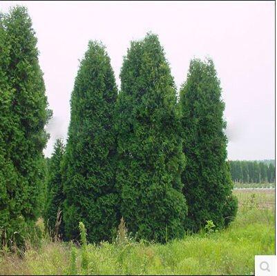 100pcs / lot Microbiota decussata, Siberian Tapis Cypress, Arborvitae semences fleur plante bonsaï jardin potager bricolage
