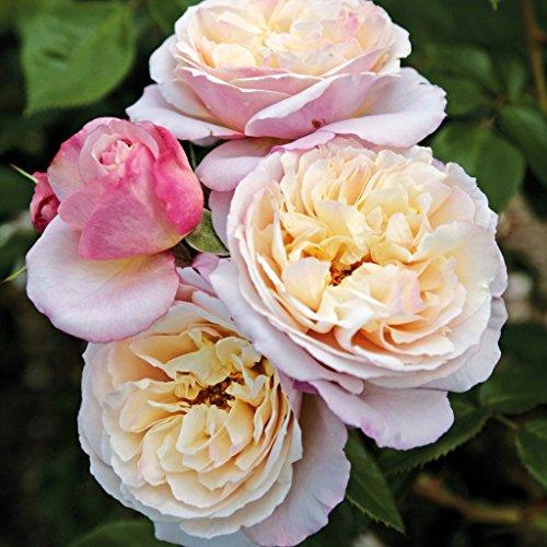 Kordes Rosen Herkules Strauchrose, zart lavendel bis reinweiß, 12 x 12 x 40 cm