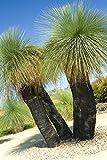 ScoutSeed KAUFEN 3 ERHALTEN 2 KOSTENLOSE Australische Grass Tree Seeds, Bonsai 105 Stück für Haus und Garten