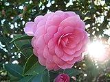 5 semi - Rose dell'inverno (giapponese Camelia Seeds) ideale per Bonsai - Alabama fiori Stato