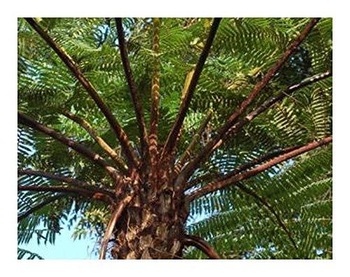 Cyathea firma - fougère arborescente - 10 graines