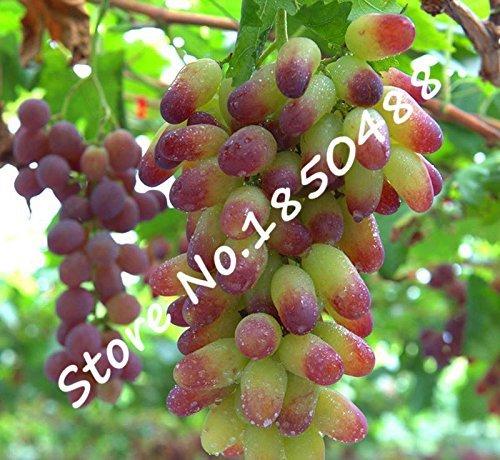 50Pcs / Sac d'or Finger, pépins de raisin plantes Senior Courtyard, délicieux fruits, graines de fruits rares pour Diy jardin Plantation