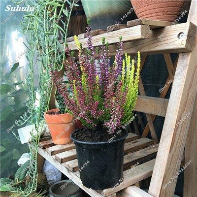 Happy Farm gypsophile Etoiles Sky Seed Hybrids Flower Seed jardin décoratif Aménagement paysager, Plante vivace Fleur 150 Pcs 2