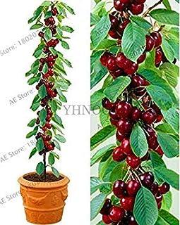 comprar comparacion AGROBITS Nueva llegada! 20 cerezo del árbol Bonsai Australia cerezo negro Plantas Plantas raras de árboles frutales para...