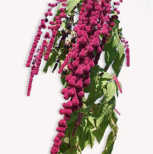 100 graines de fleurs : Amarante - Queue De Renard - Idéal Massif