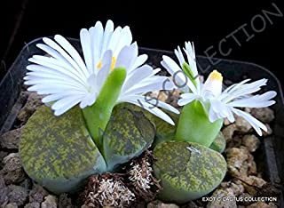 Rare LITHOPS LESLIEI V ALBINICA @@ Living Stone Rock Cactus Cacti Seed 30 Seeds