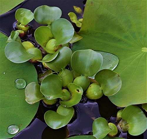 Five (5) Live Water Hyacinth Aquatic Tropical Plant, Easy to Grow/Maintain Pond Plant, Live Aquatic...