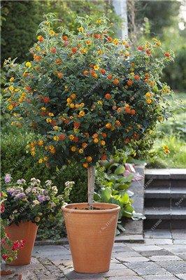 Verbena hybrida Graine verveine Hortensis Bonsai Flowr semences Balcon intérieur Plantes jardin Fleurs colorées Woodland 100 Pcs 1