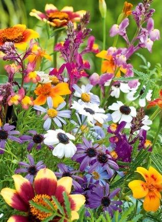 100pcs Ground-Cover Chrysanthemum Seeds Vivace Daisy Graines de FLEURS H1PS