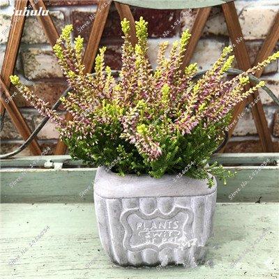Happy Farm gypsophile Etoiles Sky Seed Hybrids Flower Seed jardin décoratif Aménagement paysager, Plante vivace Fleur 150 Pcs 5