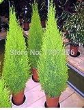 Zypressen Platycladus orientalis orientalischen Lebensbaum Samen Conifer sät DIY Hausgarten - 10 PC / Los