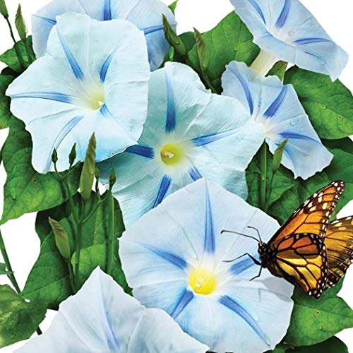 Qulista Samenhaus - 100pcs Selten Petunie hellblau Blumensamen winterhart, geeignet für Blumenkästen & Ampeln & Töpfe