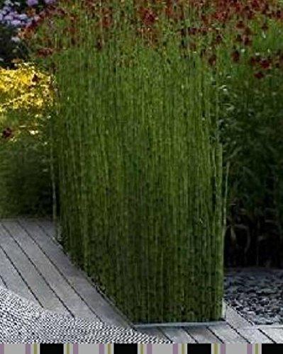 D'énormes 80 graines/paquet pubescens géant Phyllostachys Moso graines de bambou rustiques -Giant 6