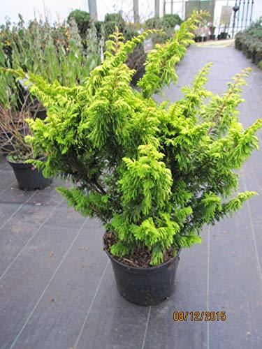 Zwerg-Hinoki -Scheinzypresse - Chamaecyparis obtusa Tetragona aurea