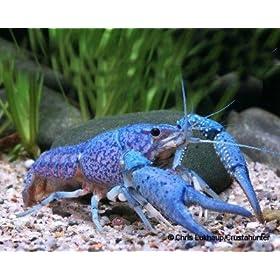 Blauer Floridakrebs - Procambarus alleni - 1 Pärchen