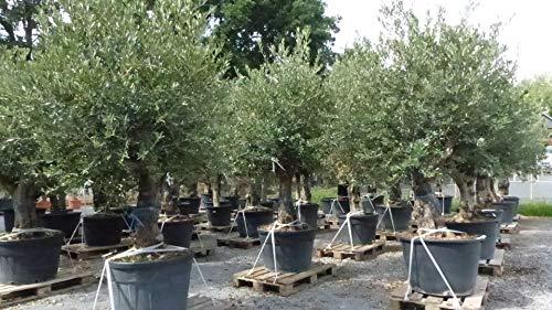 uriger Bonsai Olivenbaum Hojiblanca knorrige Olive Olea Europaea winterhart